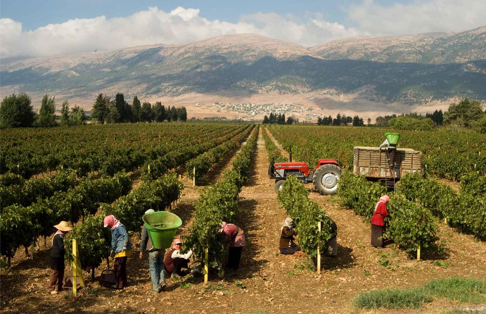 Weinernte im Bekaa-Tal des Libanons