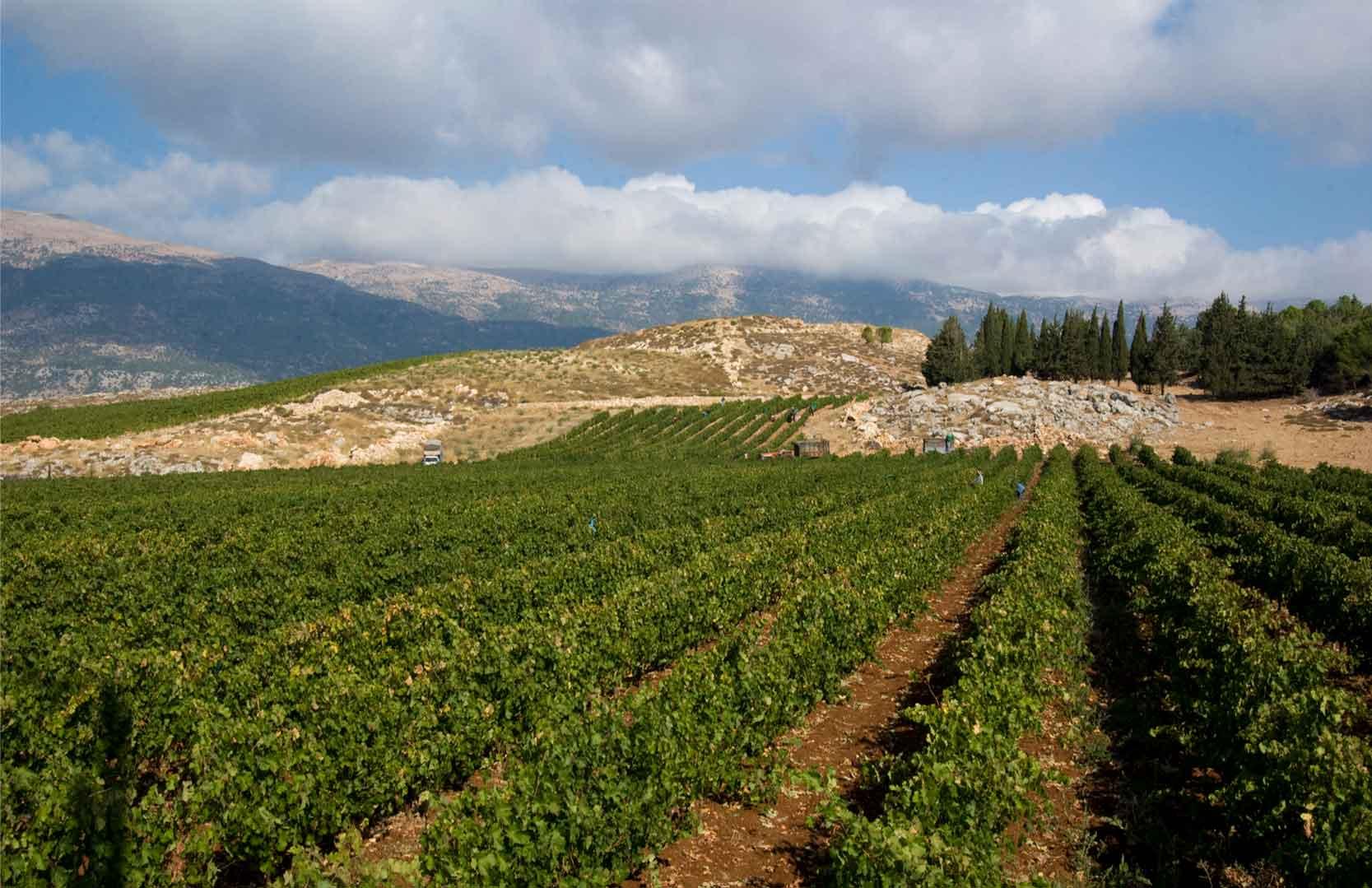 Weinfelder in der Bekaa Ebene