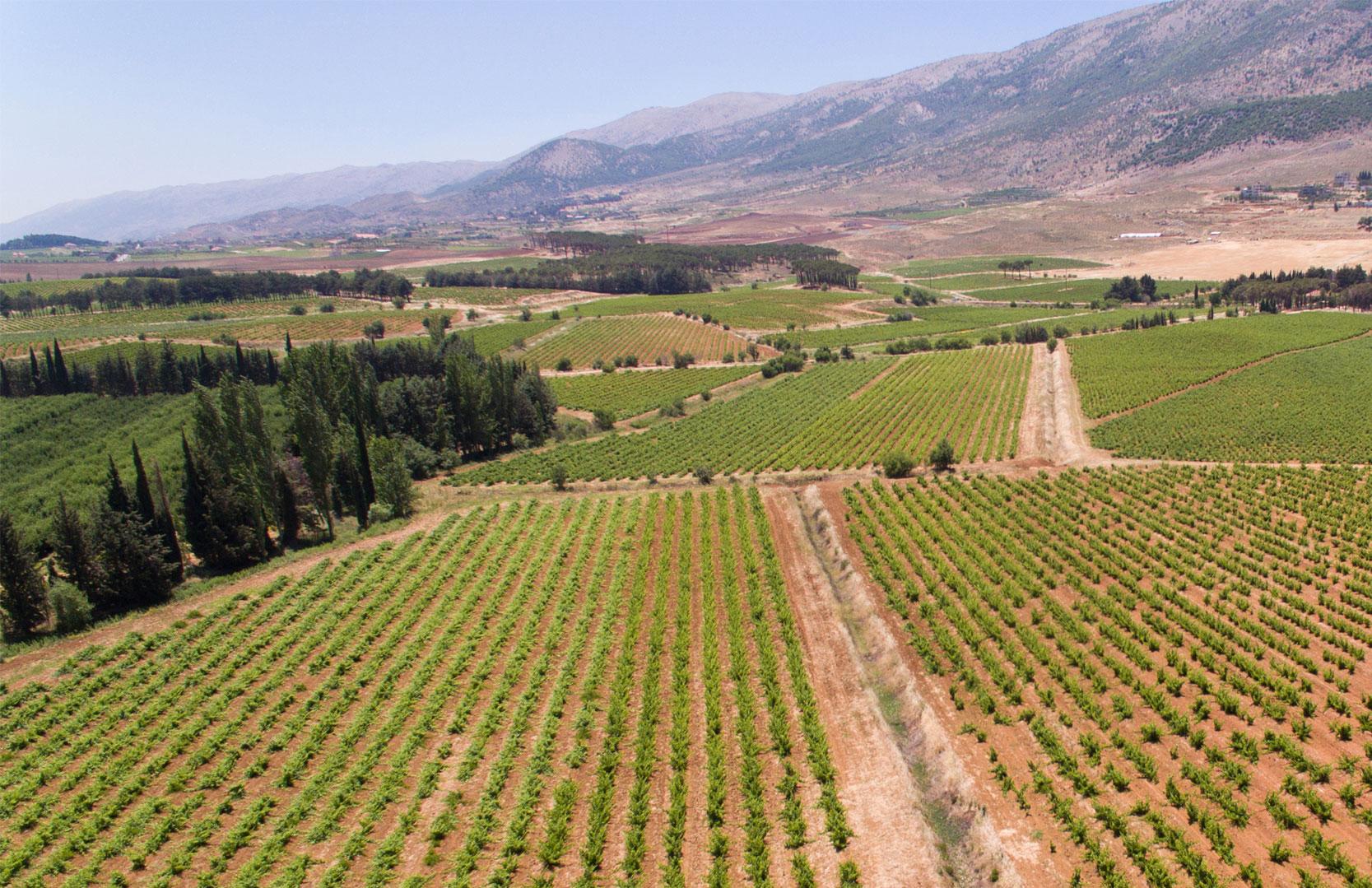 Weinfelder von Chateau Musar