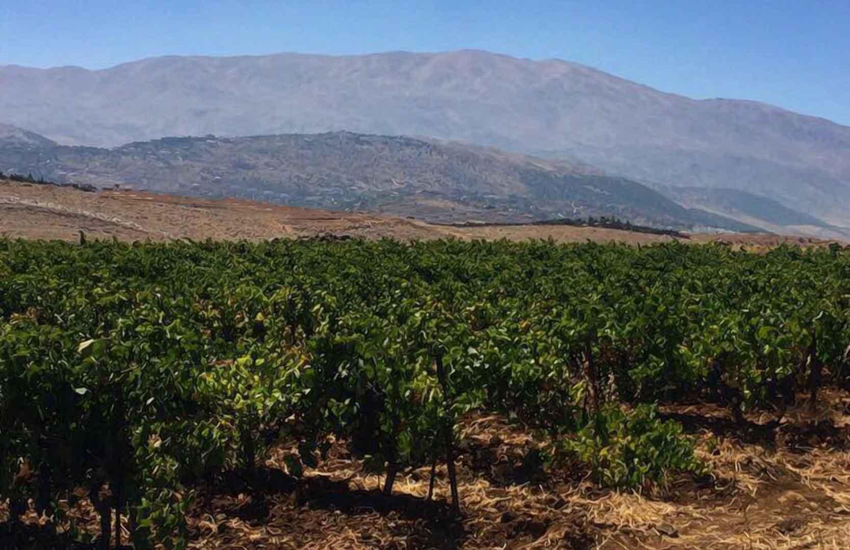 Weinfelder in der Bekaa Ebene des Libanons