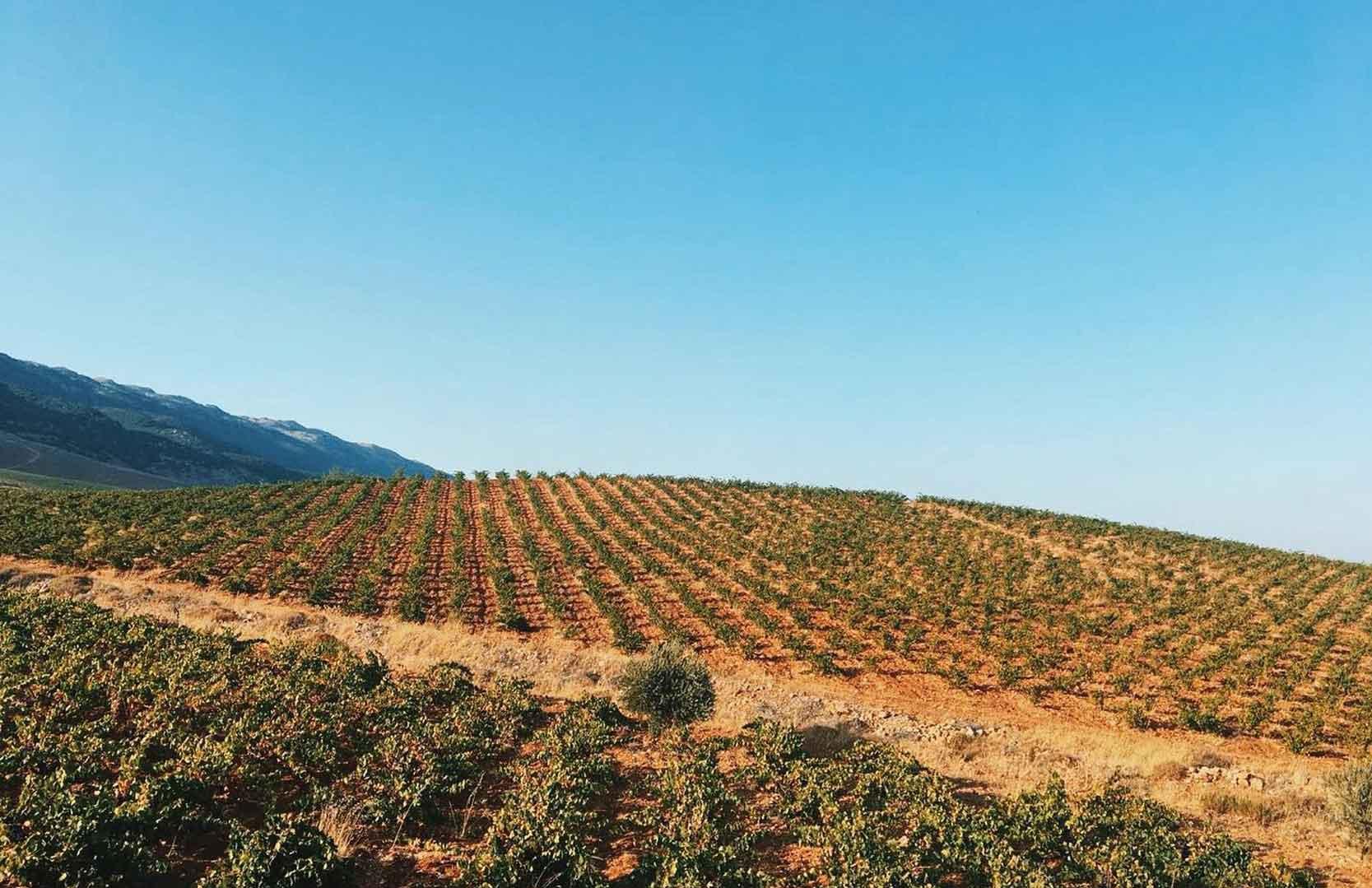 Weinfelder von Massaya