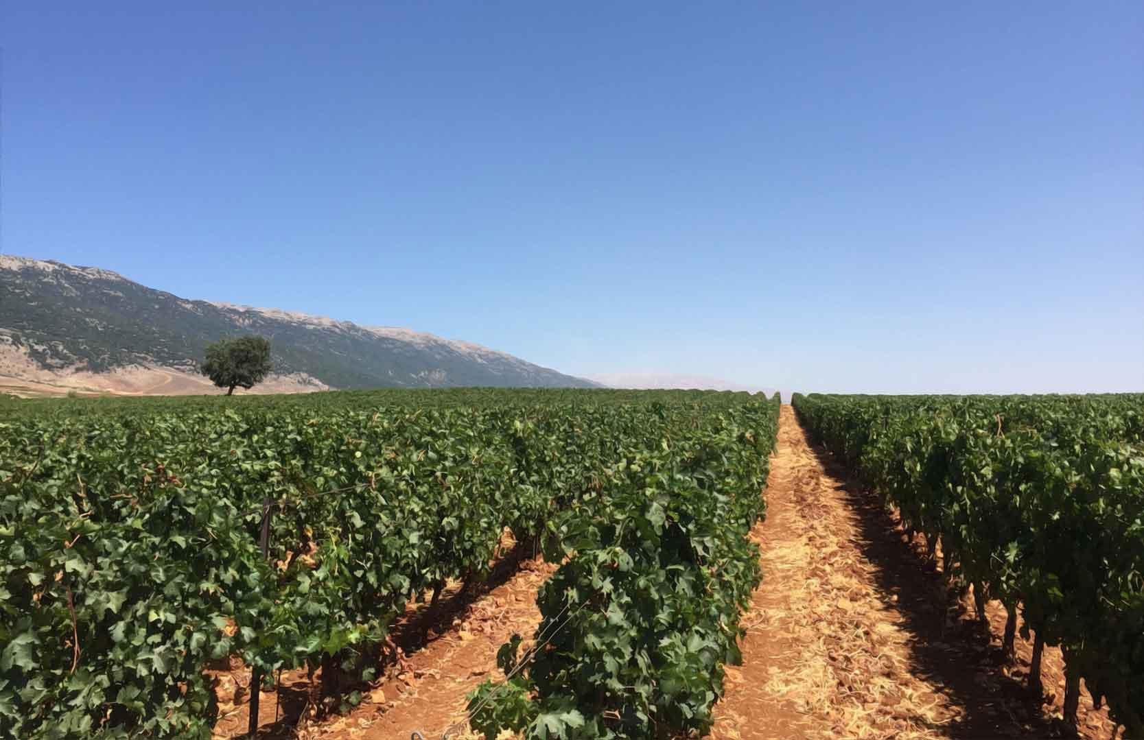 Weinfeld in Kefraya aus dem Libanon