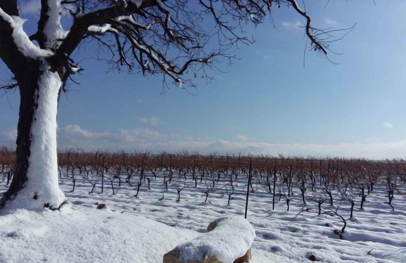 Libanesische Weinreben im Winter
