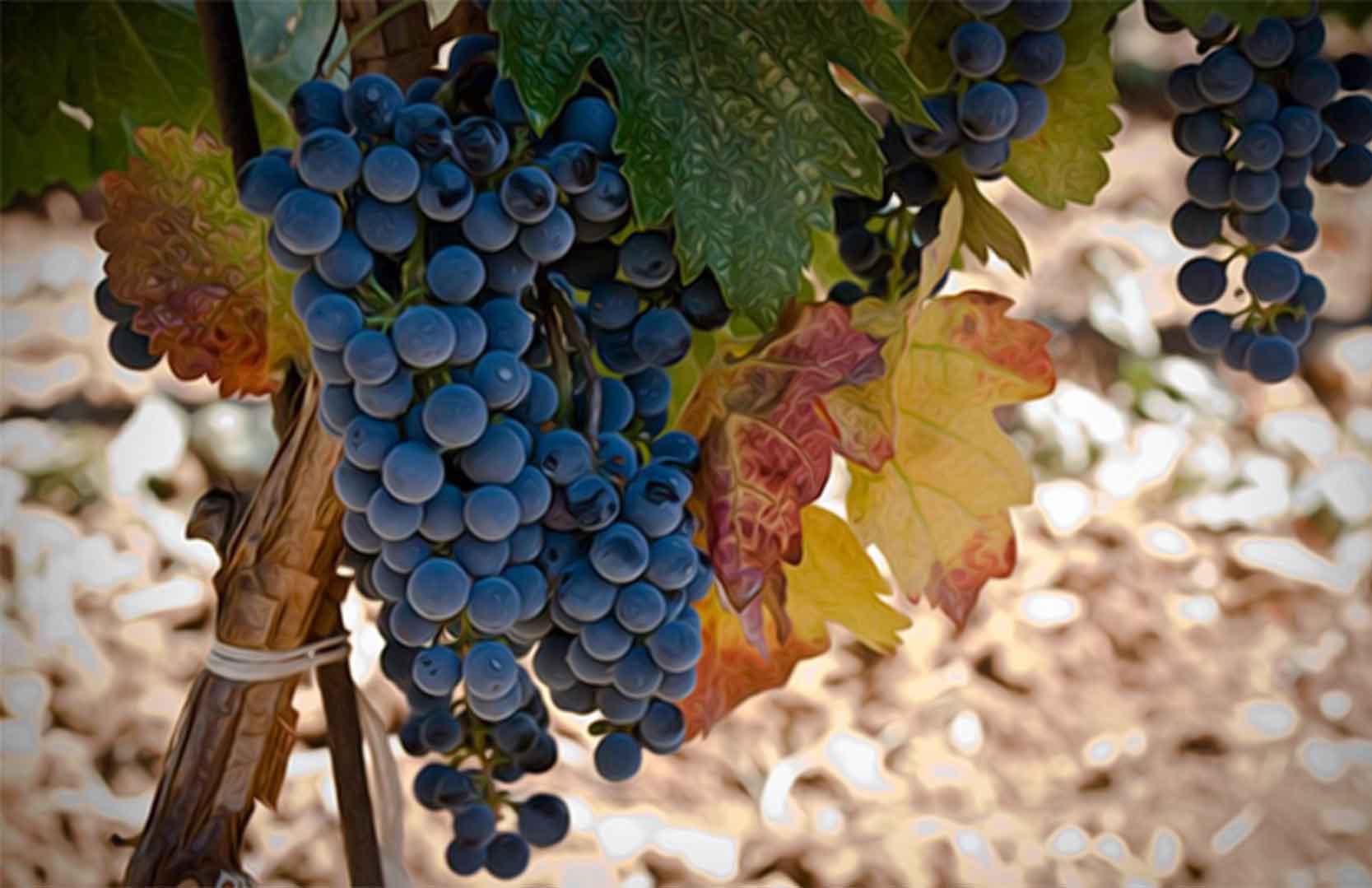 libanesische Weintrauben aus der Bekaa Ebene