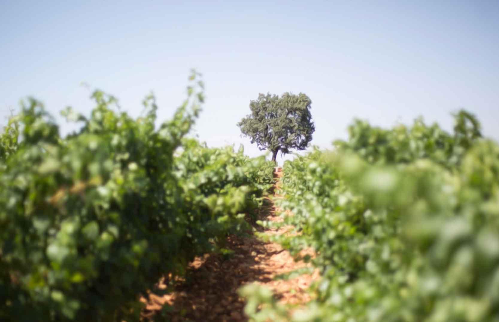 Weinfelder von Chateau Marsyas im Libanon