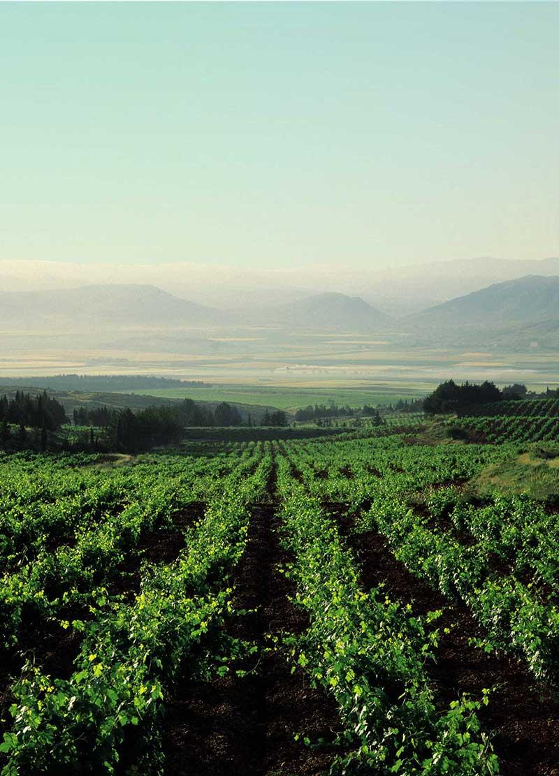 Trauben Reben im Libanon